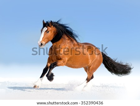 bay draft horse runs free in snow desert - stock photo
