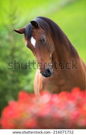 Bay horse head on green background, Trakehner stallion. - stock photo