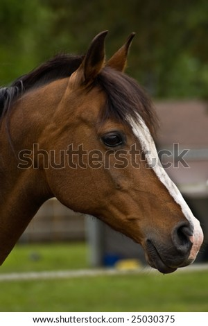 Bay horse in profile - stock photo