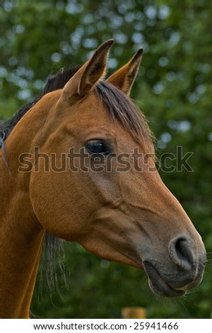 Bay horse in profile with green foliage in background. - stock photo