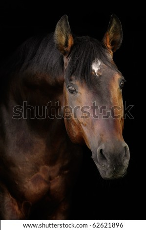 bay horse isolated on the black