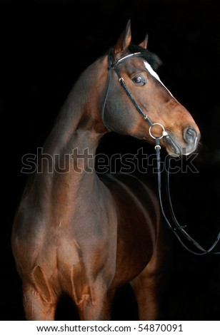 Bay horse on black - stock photo