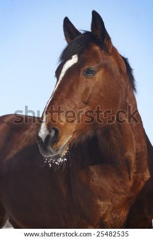 bay horse on blue sky background - stock photo