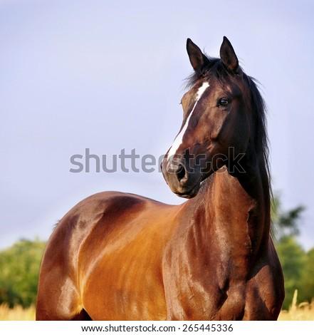 bay horse portrait - stock photo
