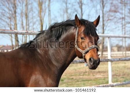 Bay horse portrait in spring in the paddock - stock photo