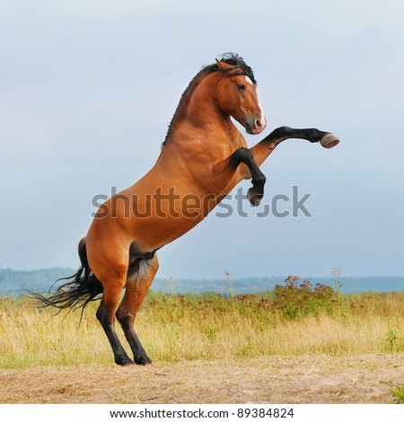 bay horse rearing up on the meadow in summer - stock photo