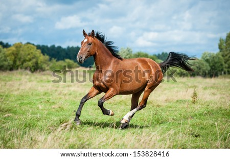 Bay horse running on the meadow - stock photo