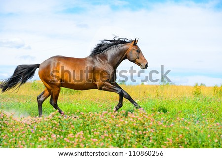 Bay horse runs gallop on the flowers meadow - stock photo