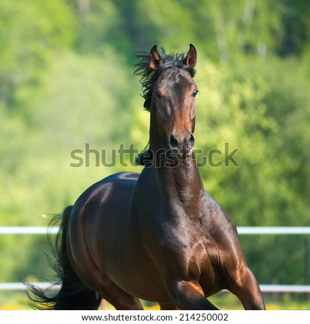 Bay horse runs gallop on the meadow in summer - stock photo