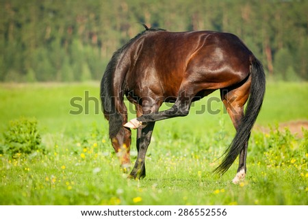 Bay horse scratching itself in evening meadow - stock photo