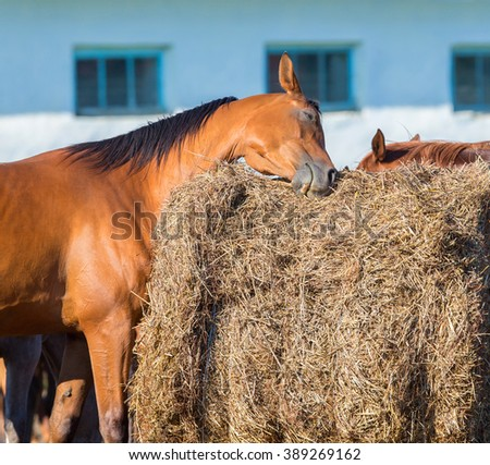 Bay horse scratching on hay - stock photo