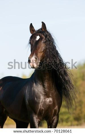 bay horse stallion portrait in the summer - stock photo