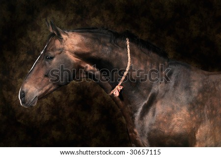 bay horse stallion portrait on the color background - stock photo