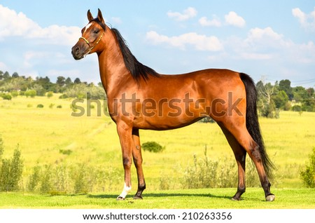 bay horse standing portrait with beautiful scenery behind him  - stock photo