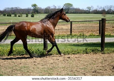 Bay Horse Trotting - stock photo