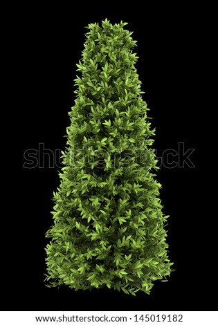 bay laurel bush isolated on black background - stock photo