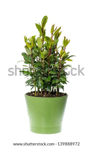 bay laurel plant in pot on white background. Laurus nobilis. Herbs. Food ingredients. Condiment. Spice.