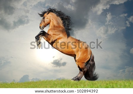 bay lusitano horse - stock photo