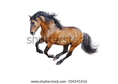 bay lusitano horse isolated on white