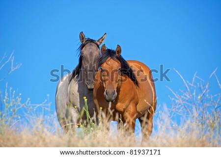 Bay Quarter Horse Gelding and Grulla Quarter Horse Mare in Pasture - stock photo