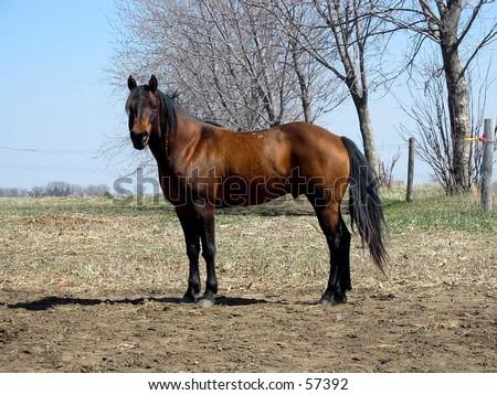 Bay quarter horse stallion standing proudly - stock photo