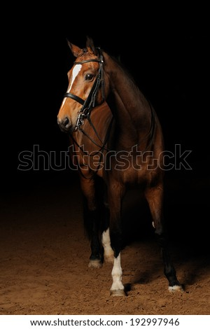 Bay sport horse - stock photo