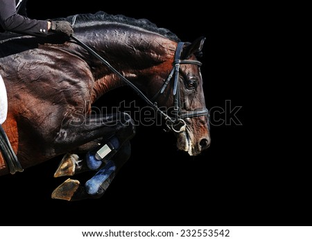 Bay stallion in jumping show, isolated on black background - stock photo
