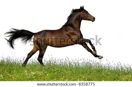 bay trakehner stallion - stock photo