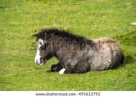 Bay wild pony foal (Equus caballus) dozing on a warm day,lit by low morning sun. Gower Peninsula, South Wales, UK