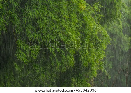 be fresh green Bamboo leaves on a rainy day - stock photo