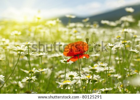 be single flower of poppy is in the valley of the camomile field - stock photo