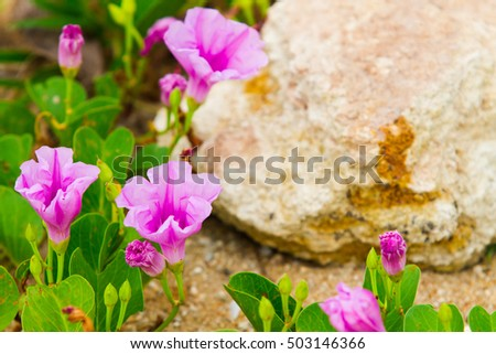 beach morning glory. Ipomoea blooming on sand for background