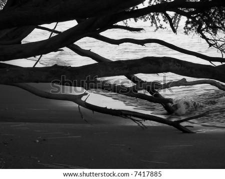 beach trees (black and white) - hawaii - stock photo