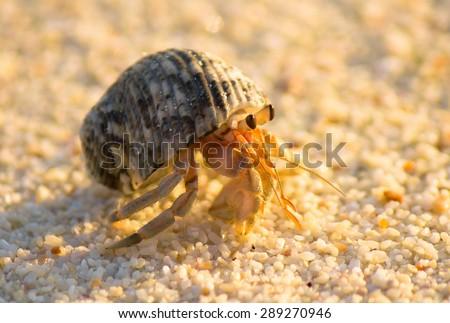 Beach Walker Exotic Creature  - stock photo