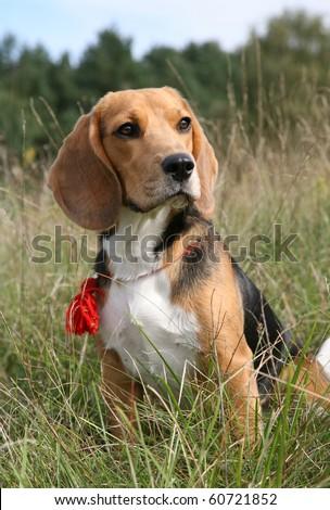 beagle - stock photo