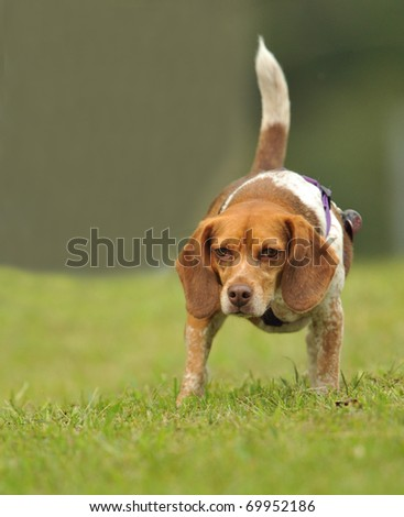 Beagle - stock photo