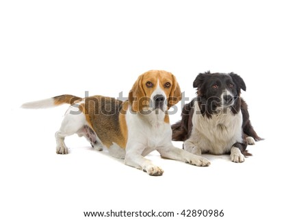 beagle and a border collie isolated on a white background
