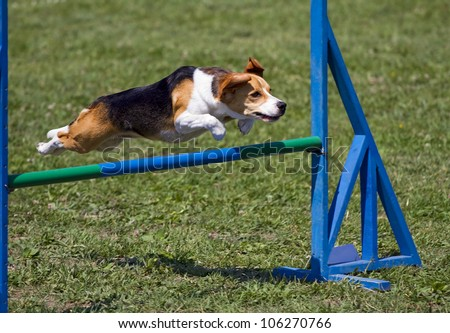 Beagle bitch exercising in an agility competition - stock photo