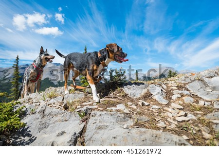 Beagle Boston Terrier mix dog while Hiking Nihahi Ridge Kananaskis Country Alberta Canada