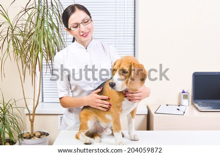 Beagle dog at a reception at the vet