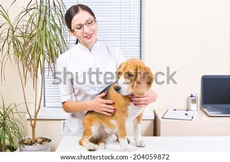 Beagle dog at a reception at the vet - stock photo