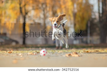 Beagle dog chasing ball and jumping in park - stock photo