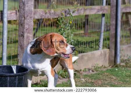 Beagle dog drinking from bucket