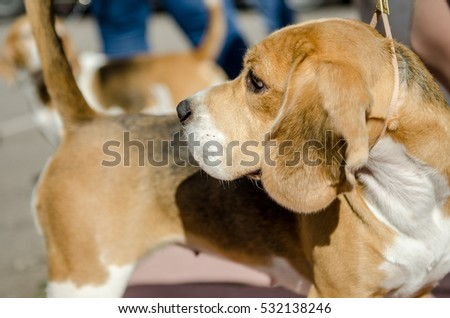 beagle dog for a walk