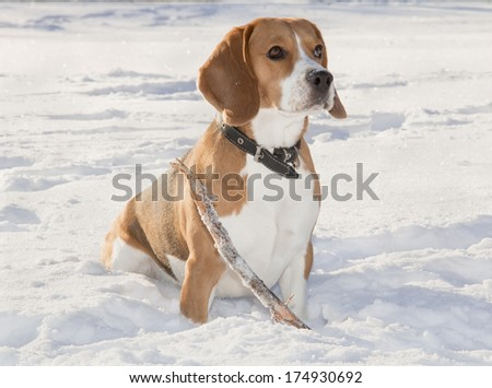 beagle dog for a walk in the forest with snow - stock photo