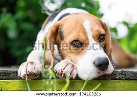 Beagle dog in garden looking into the camera - stock photo