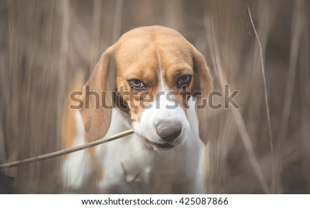 Beagle Dog in tall grass
