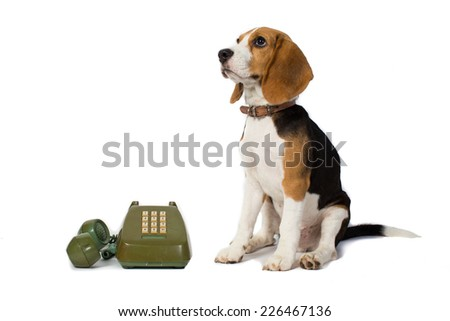 beagle dog is waiting for the phone ring in white background - stock photo