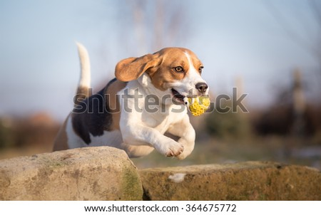 Beagle dog jumping with ball in his mouth - stock photo
