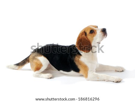 Beagle dog lay down, isolated on white background - stock photo